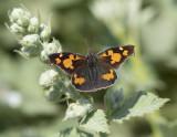 Nettletree Butterfly ( Libythea celtis )      Mt Olympus
