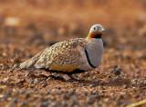 THE BIRDS OF FUERTEVENTURA CANARY ISLANDS