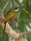 Rufous-tailed Jacamar - Galbula ruficauda