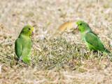 Green-rumped parrotlet - Forpus passerinus
