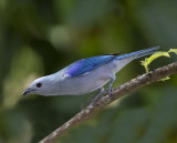 Blue grey tanager - Thraupis episcopus