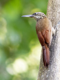 Straight-billed woodcreeper - Xiphorhynchus picus