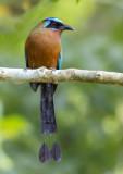 Blue-crowned Motmot - Momotus momota