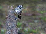 Barred Antshrike - Thamnophilus doliatus