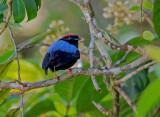 Blue-backed Manakin - Chiroxiphia pareola