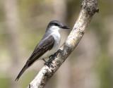 Gray Kingbird - Tyrannus dominicensis