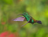 Copper Rumped Hummingbird - Amazilia tobaci