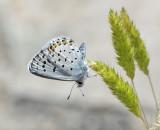 Eastern-baton blue ( Pseudophilotes vicrama )