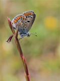 Brown Argus ( Aricia agestis )female