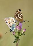 Chalkhill Blue - Polyommatus coridon