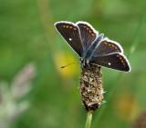 Northern brown argus - Aricia artaxerxes allous