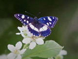Southern White Admiral (Limenitis reducta )