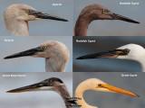 Egret hybrid – Upper Texas Coast