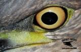 Night-Heron hybrid Texas Central Coast Mustang Island