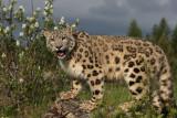 panthère des  neiges 5 -  snow leopard.JPG