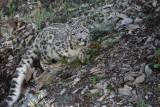 panthère des  neiges 13 -  snow leopard.jpg