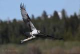 Balbuzard et sa prise - Succesful osprey.JPG