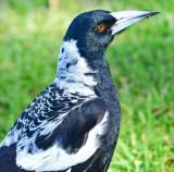 Adult Australian Magpie