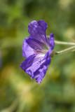 Campanula - Bell Flower