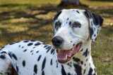 R.I.P. Pepper the Dalmatian