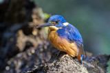 Azure Kingfisher Gallery