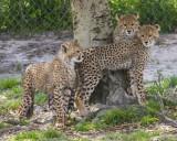 cheetah_and_cubs