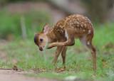 Hog Deer - Hyelaphus porcinus