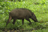 Wild Boar - Sus scrofa cristatus