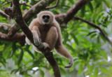 White-handed Gibbon - Hylobates lar entteloides