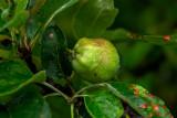 Wet Baby Apple