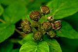 Baby Blackberries