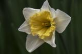 One Last Daffodil