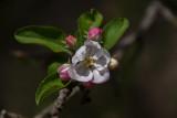 Apple Blossoms III
