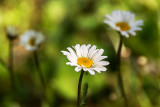 The First Daisies