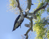 ospreys_and_others_point_vernon_hervey_bay