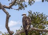 ospreys_and_others_point_vernon_hervey_bay