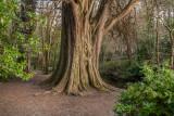 Tree by Dargle River, Powerscourt, Enniskerry, Ireland