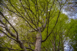 Beech, Knocksink Wood, Enniskerry, Ireland