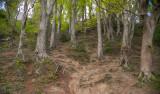 Beech Forest, Knocksink Wood, Enniskerry, Ireland