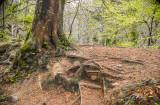 Tree and Roots, Knocksink wood, Enniskerry Ireland