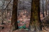 Cedars, Glencree, Wicklow, Ireland