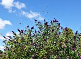 Att Buddleia kallas Fjärilsbuske kan man förstå av bilden! Massor av tistelfjärilar!