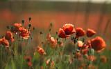 Det finns fortfarande blommande vallmofält i Skåne!