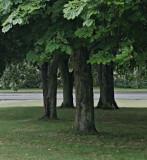 Kastanjeträd nära hemmet