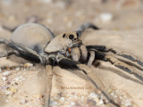Wolf Spiders, Family Lycosidae