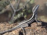 Dragon Lizards, Family Agamidae