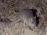 Macropods Kangaroos and their relatives