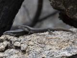 Egernia: Scincidae