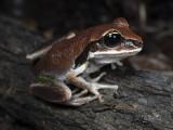 Aussie tree Frogs