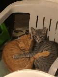 Les chatons de Inky : Pennie et Rockie